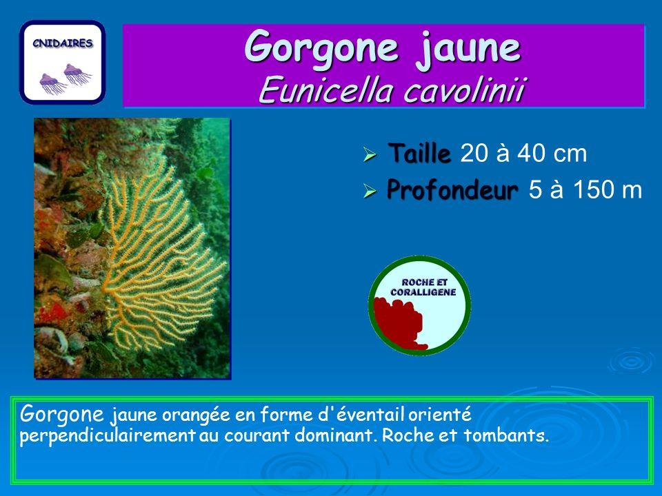 Gorgone jaune Eunicella cavolinii