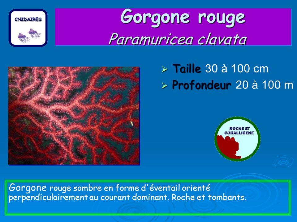 Gorgone rouge Paramuricea clavata