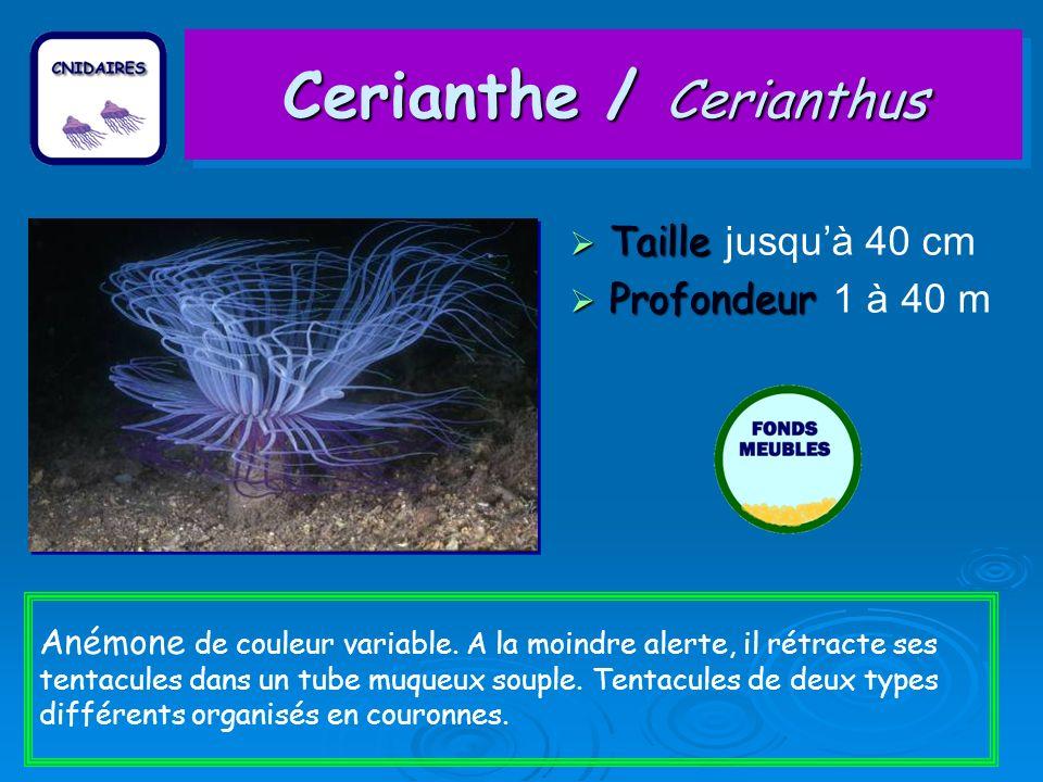 Cerianthe / Cerianthus