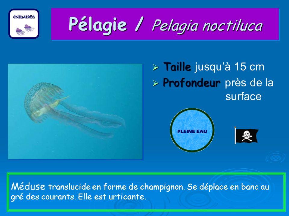 Pélagie / Pelagia noctiluca