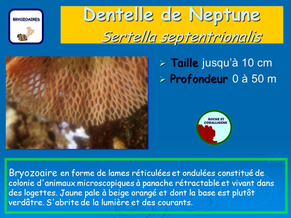 Dentelle de Neptune Sertella septentrionalis