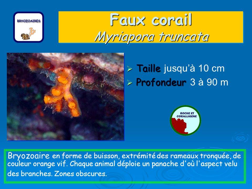 Faux corail Myriapora truncata