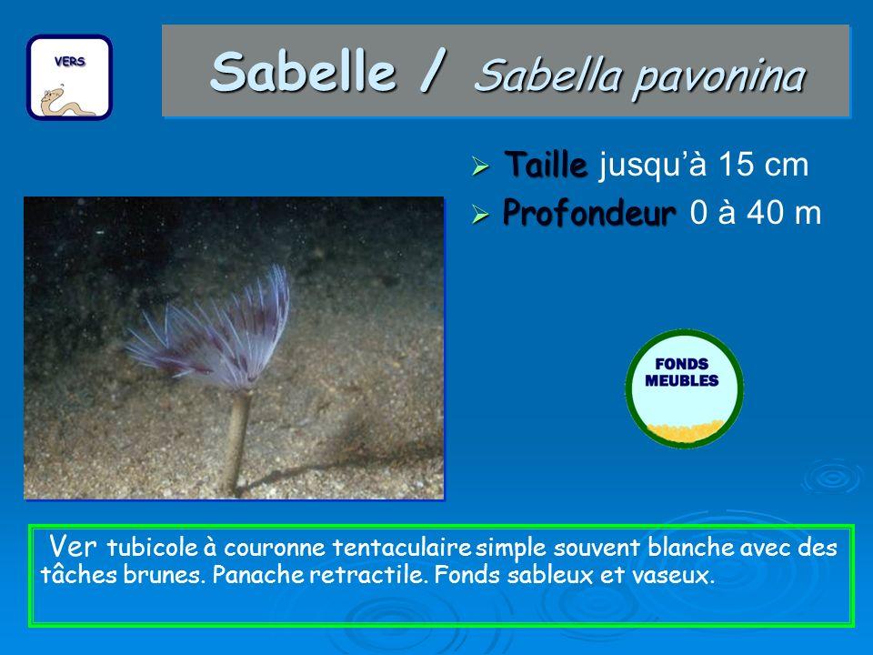 Sabelle / Sabella pavonina