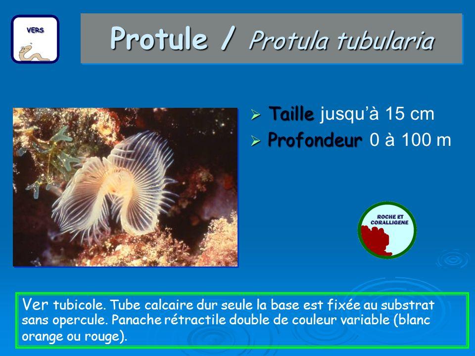 Protule / Protula tubularia
