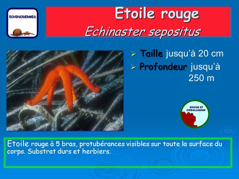 Etoile rouge Echinaster sepositus