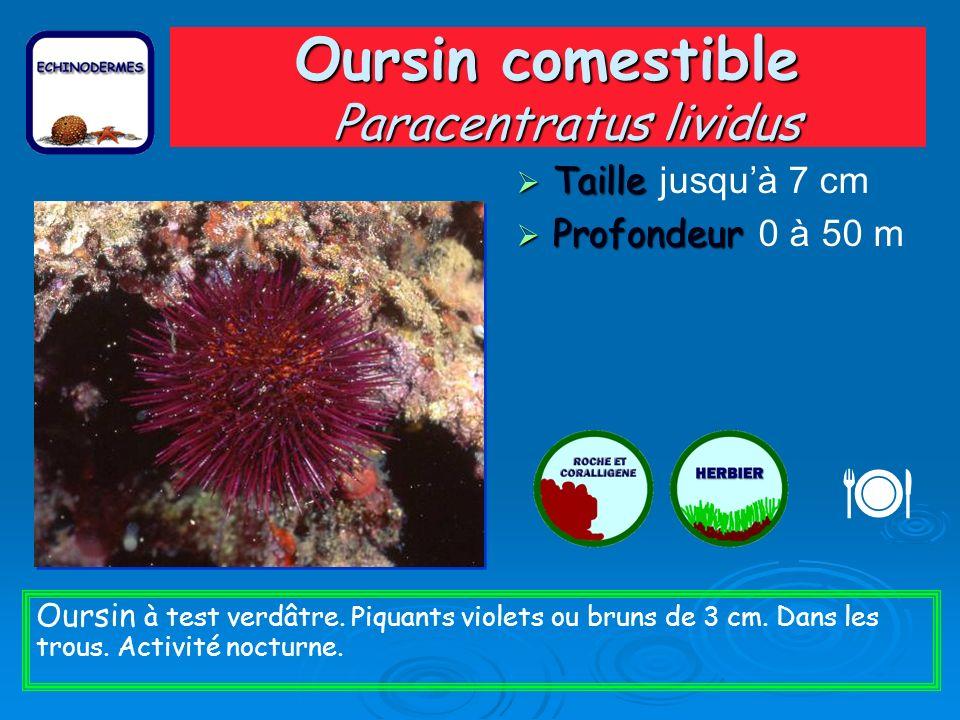 Oursin comestible Paracentratus lividus