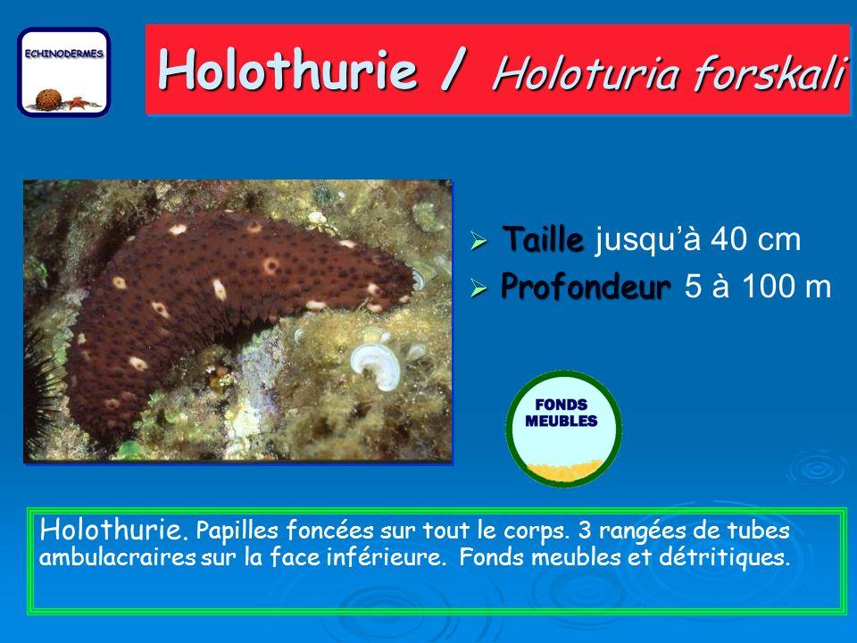 Holothurie / Holoturia forskali