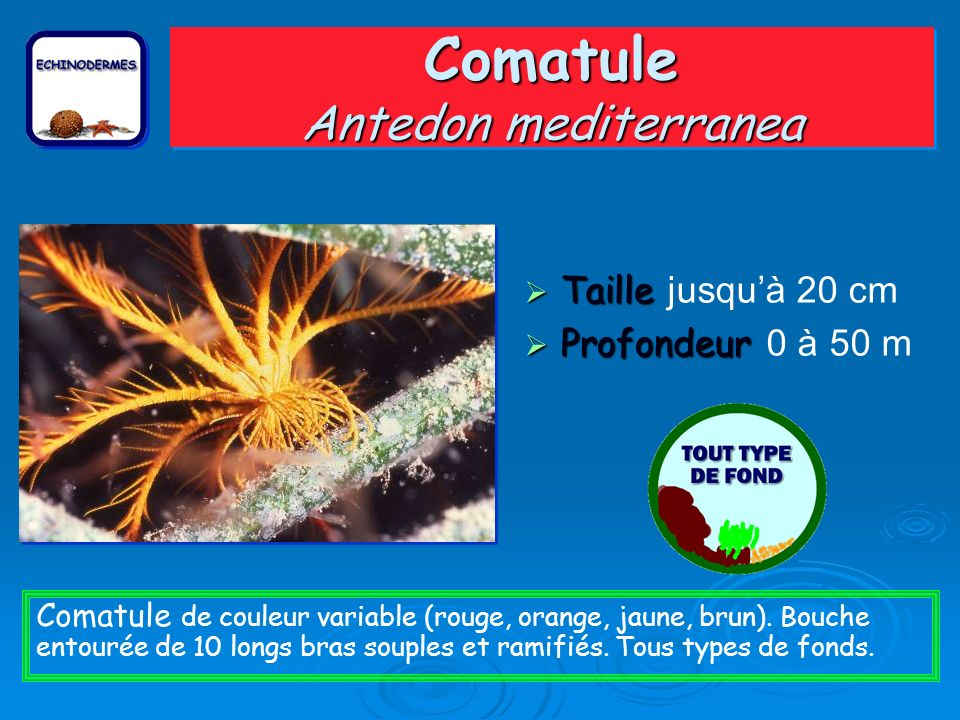 Comatule Antedon mediterranea