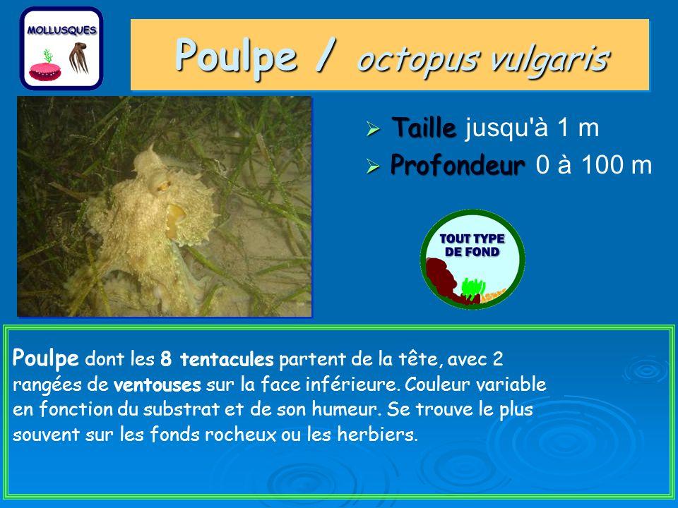 Poulpe / octopus vulgaris