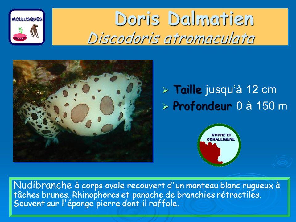 Doris Dalmatien Discodoris atromaculata