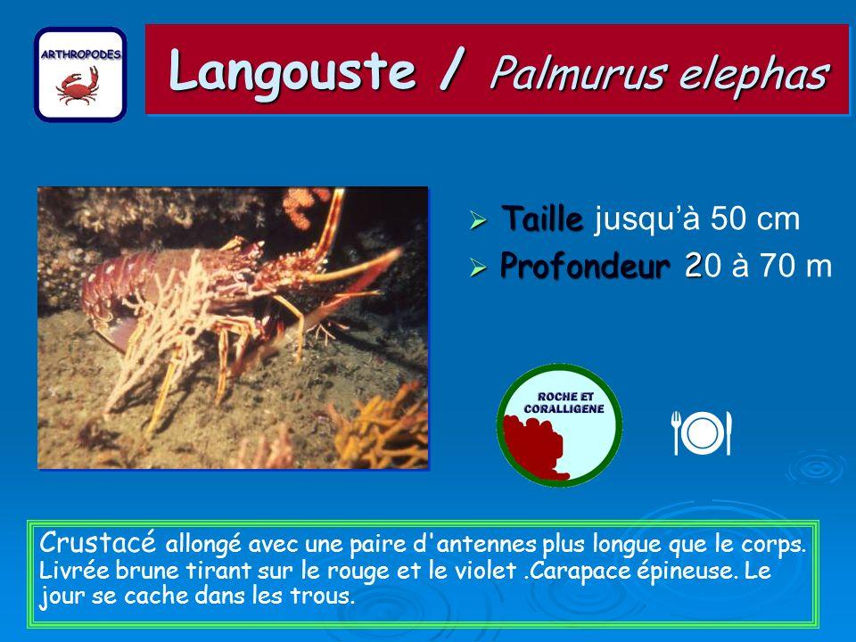 Langouste / Palmurus elephas