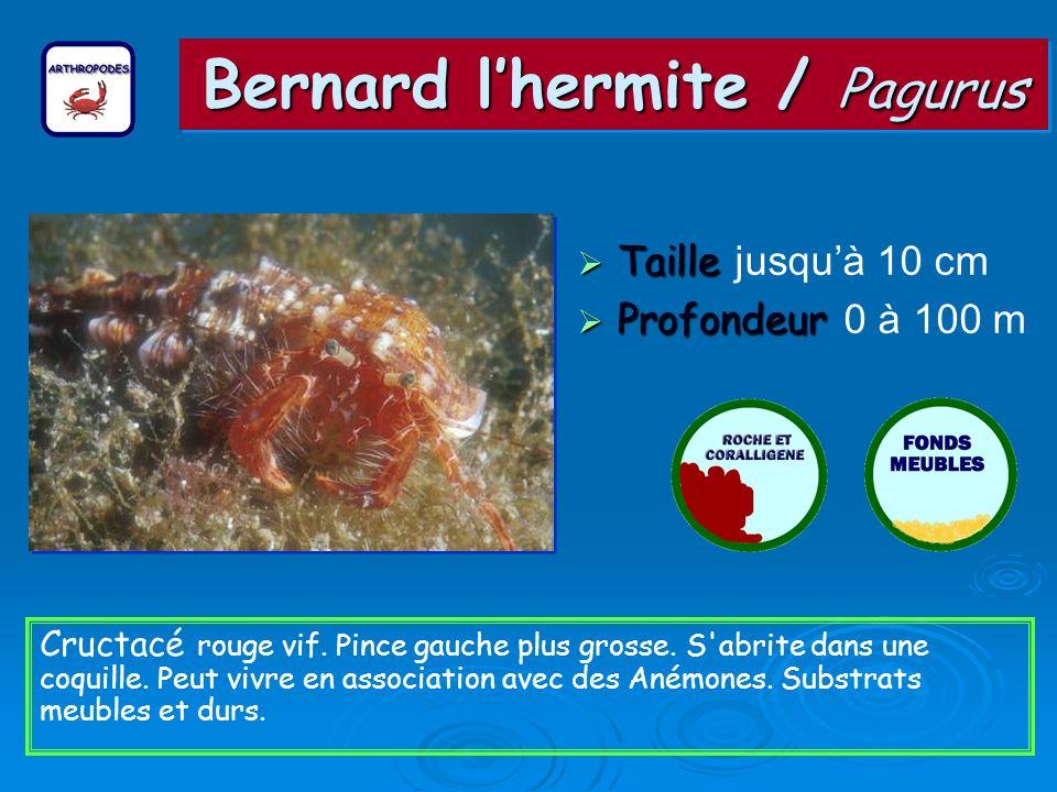 Bernard l'hermite / Pagurus