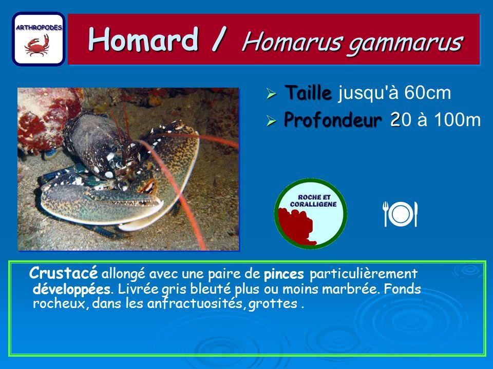 Homard / Homarus gammarus