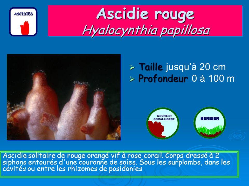 Ascidie rouge Hyalocynthia papillosa