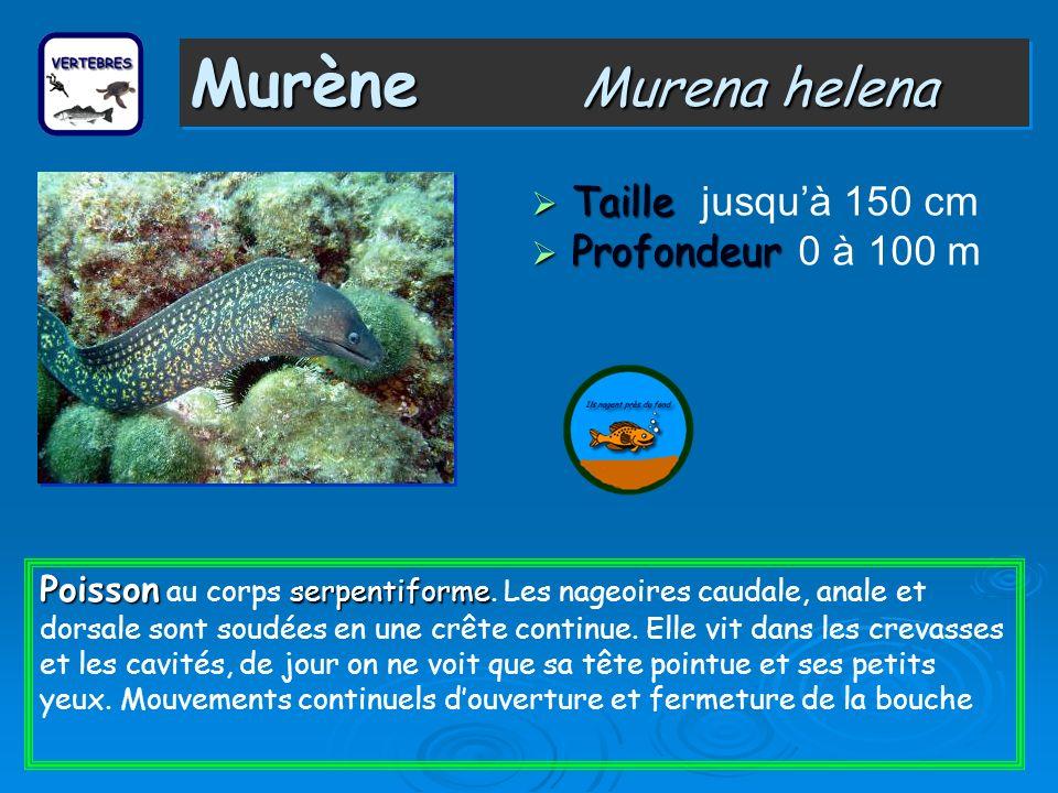 Murène Murena helena Taille jusqu'à 150 cm Profondeur 0 à 100 m