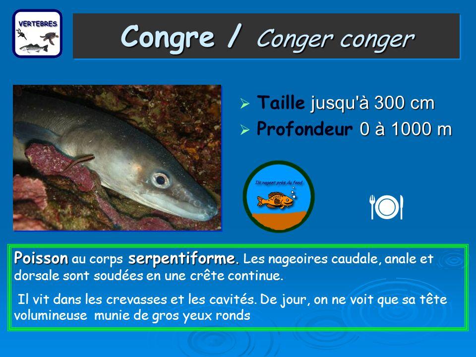  Congre / Conger conger Taille jusqu à 300 cm Profondeur 0 à 1000 m