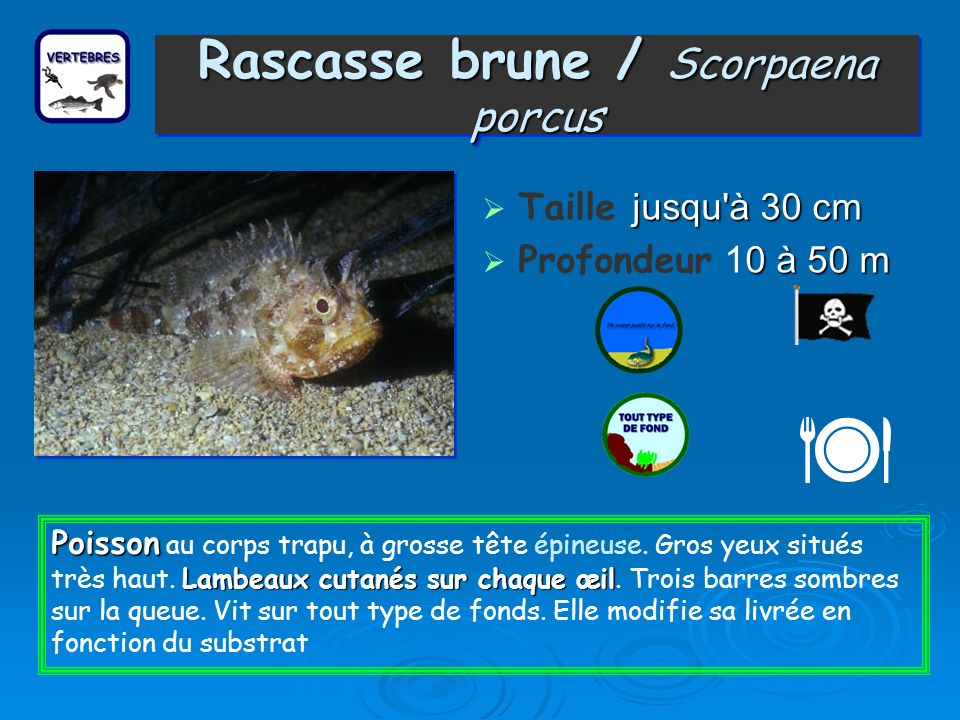 Rascasse brune / Scorpaena porcus