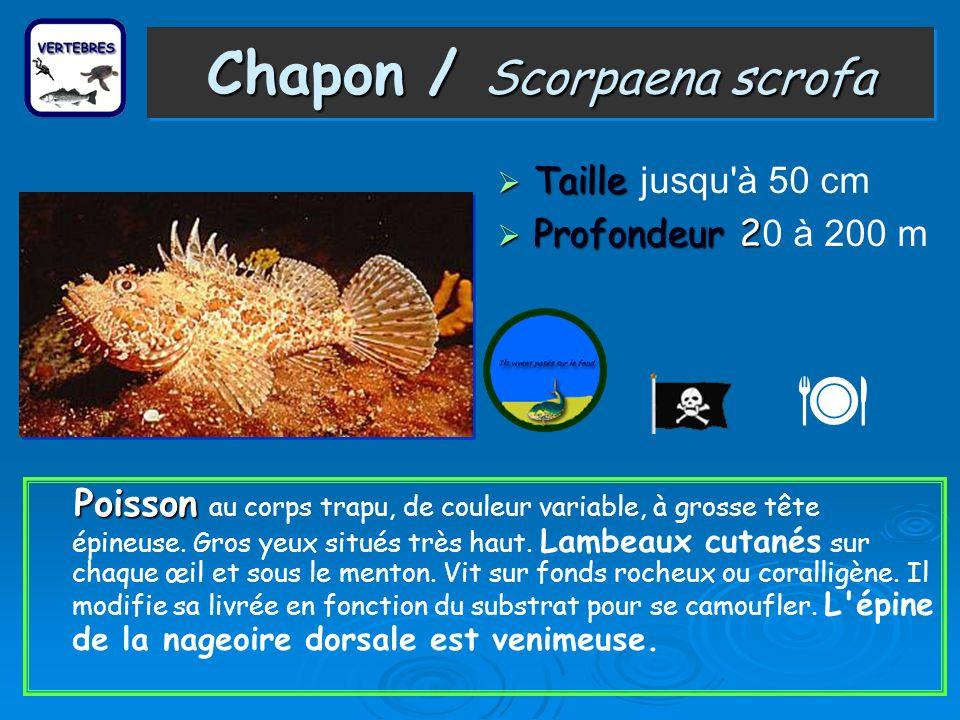 Chapon / Scorpaena scrofa