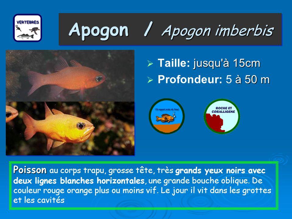 Apogon / Apogon imberbis