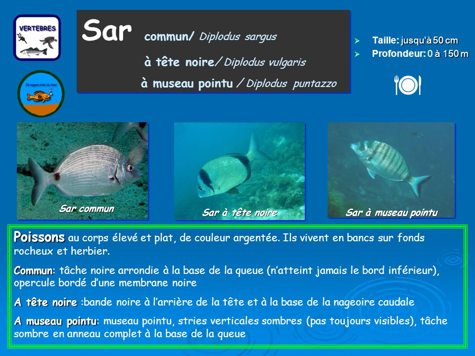  Sar commun/ Diplodus sargus