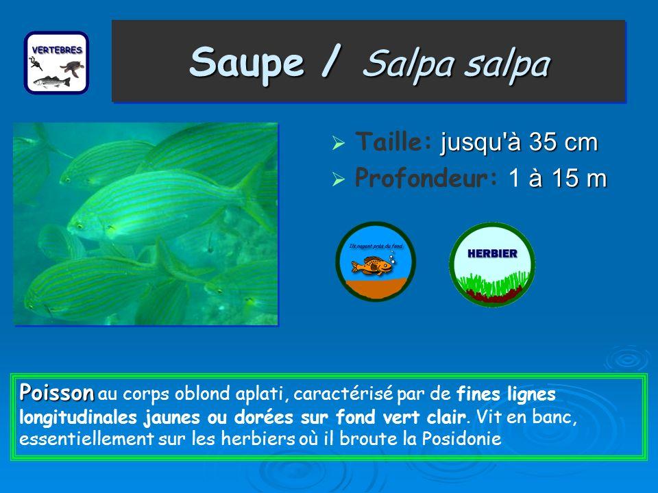 Saupe / Salpa salpa Taille: jusqu à 35 cm Profondeur: 1 à 15 m