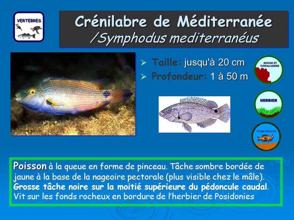 Crénilabre de Méditerranée /Symphodus mediterranéus