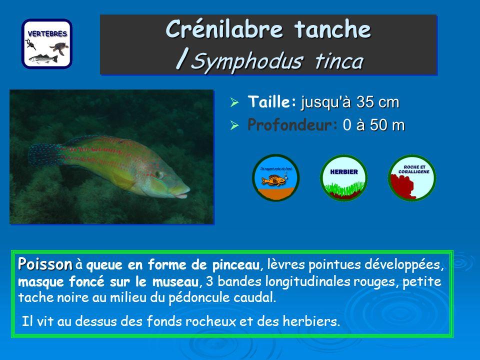 Crénilabre tanche /Symphodus tinca