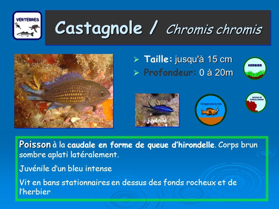 Castagnole / Chromis chromis
