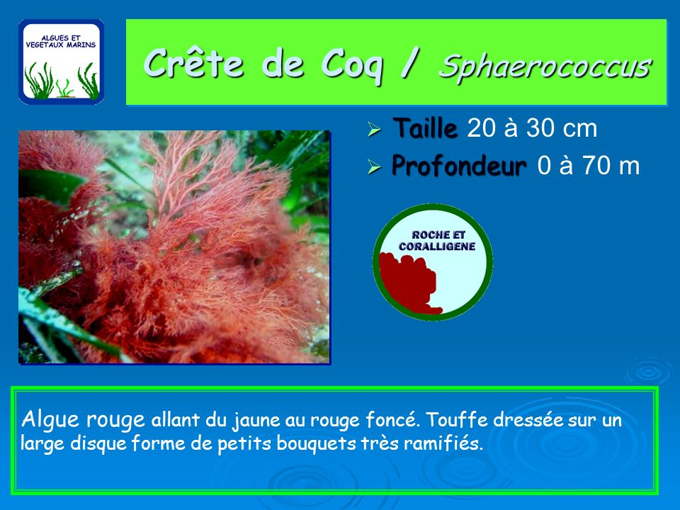 Crête de Coq / Sphaerococcus