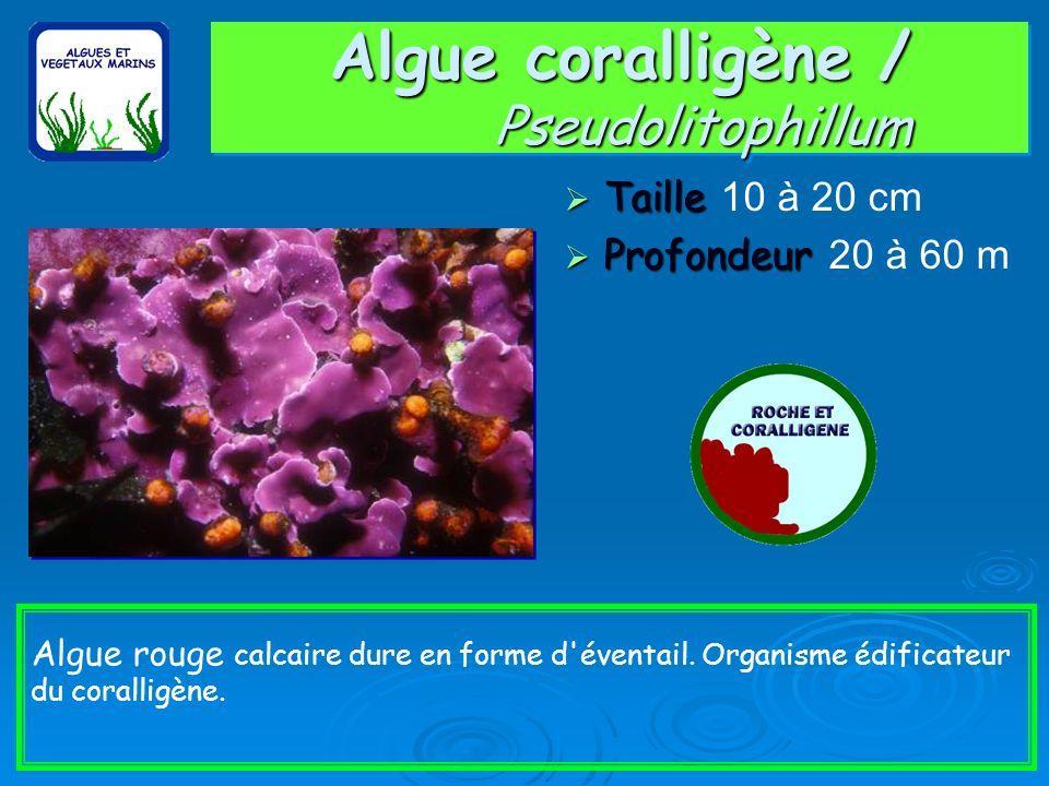 Algue coralligène / Pseudolitophillum