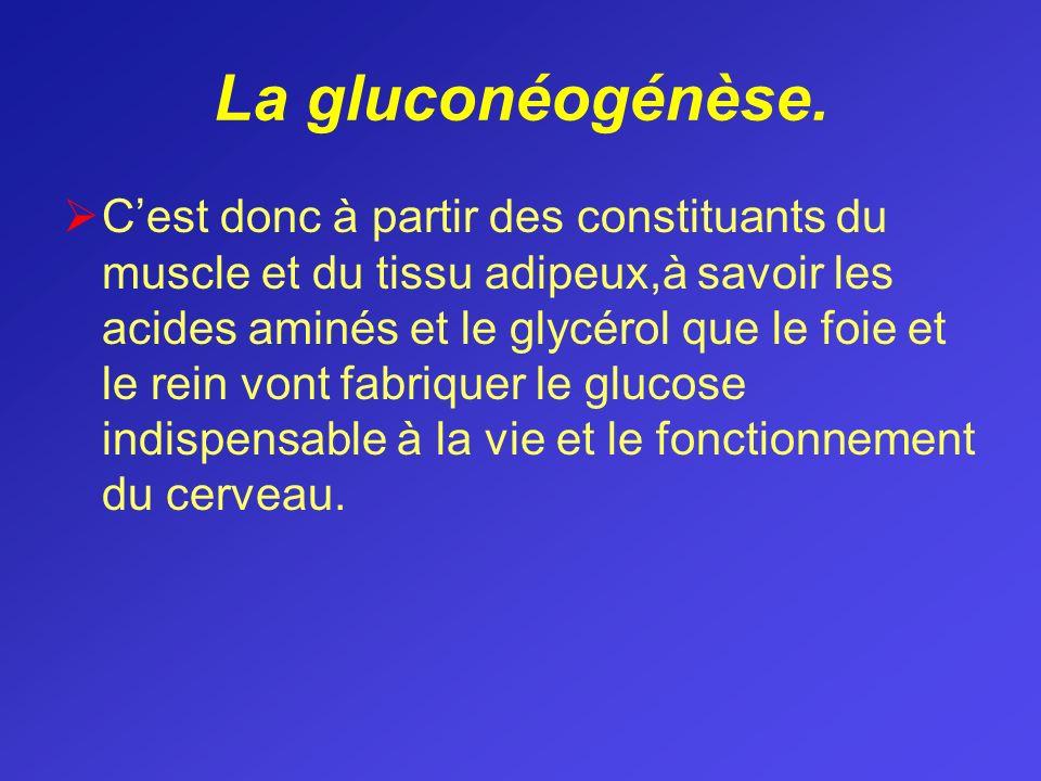 La gluconéogénèse.