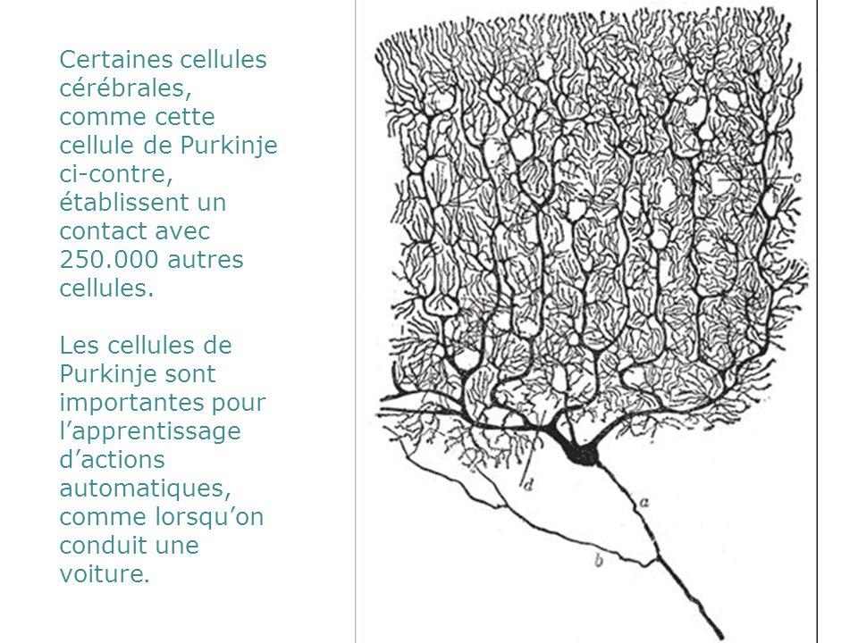 Certaines cellules cérébrales, comme cette cellule de Purkinje ci-contre, établissent un contact avec 250.000 autres cellules.