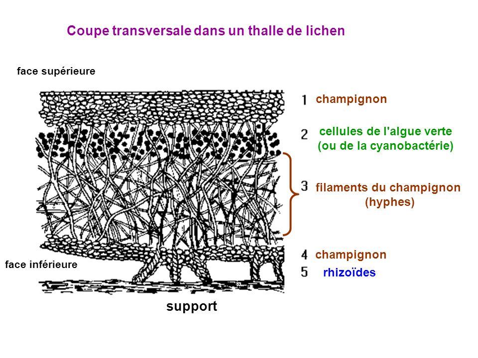 Coupe transversale dans un thalle de lichen