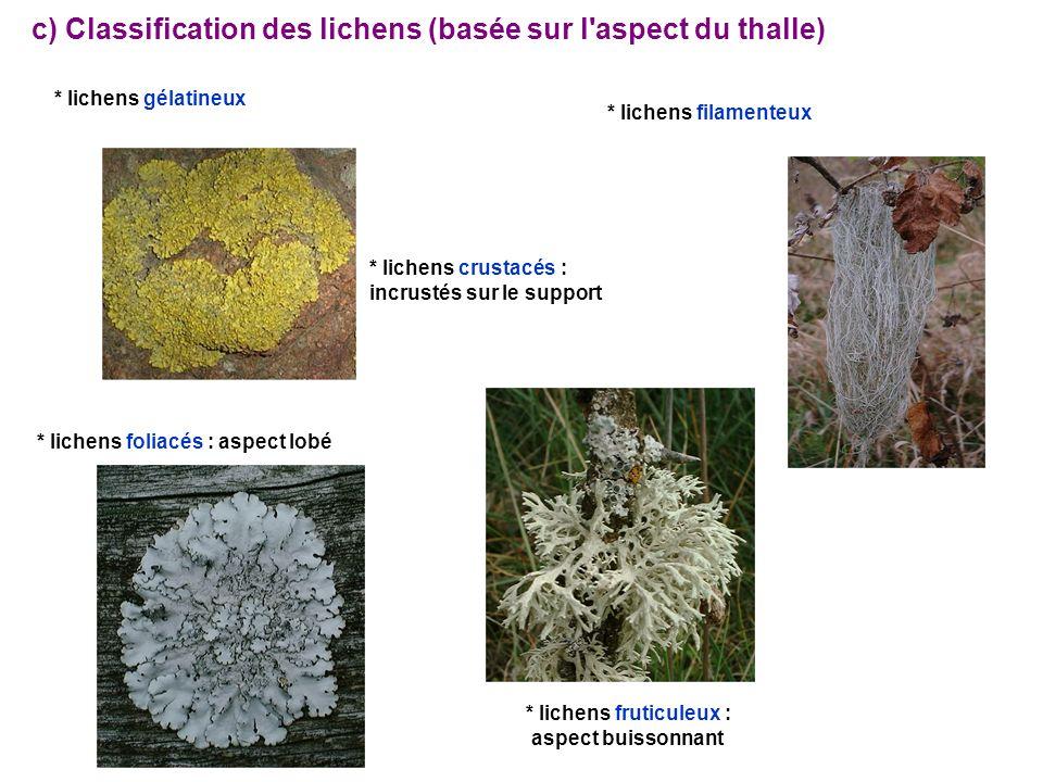 * lichens fruticuleux :