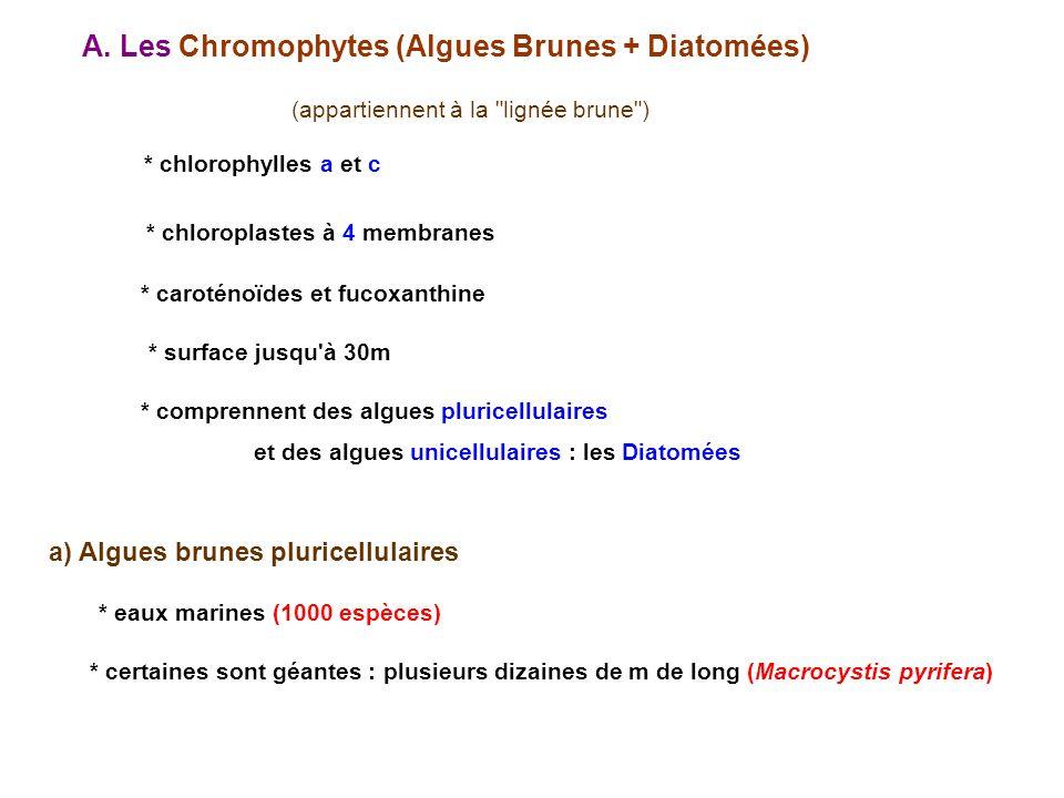 A. Les Chromophytes (Algues Brunes + Diatomées)