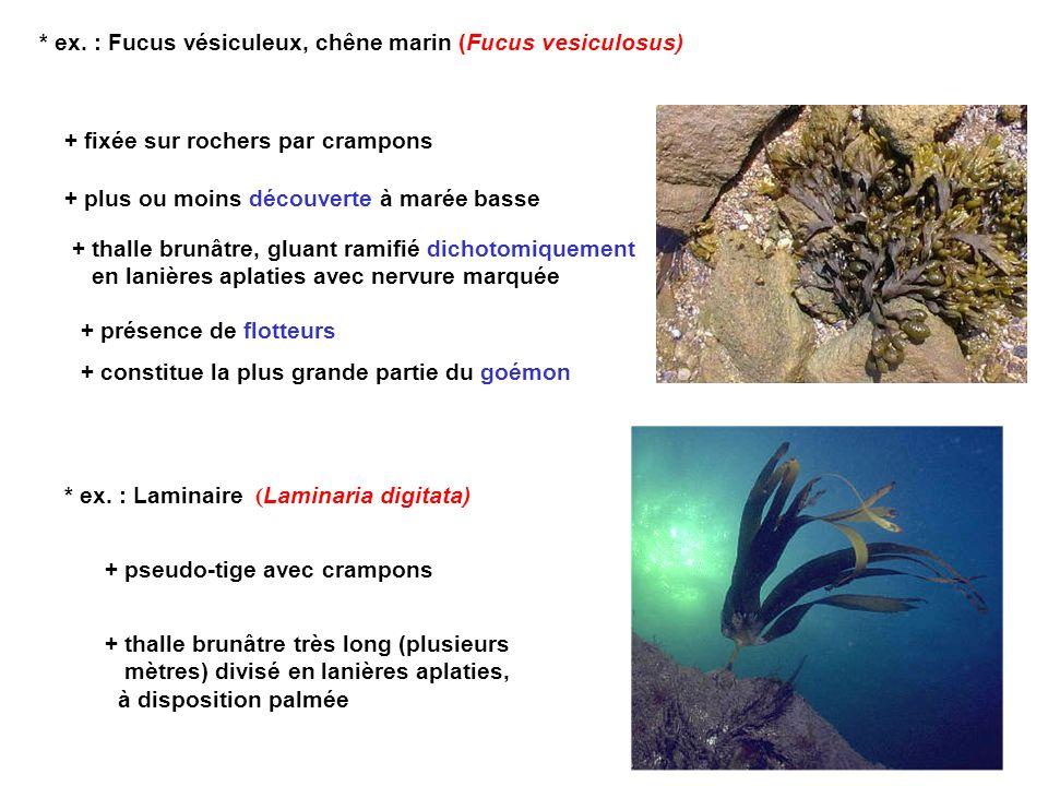 * ex. : Fucus vésiculeux, chêne marin (Fucus vesiculosus)