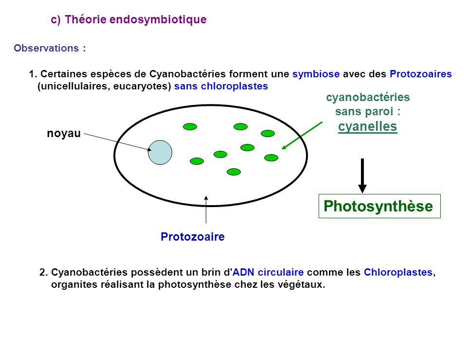 Photosynthèse cyanelles c) Théorie endosymbiotique cyanobactéries