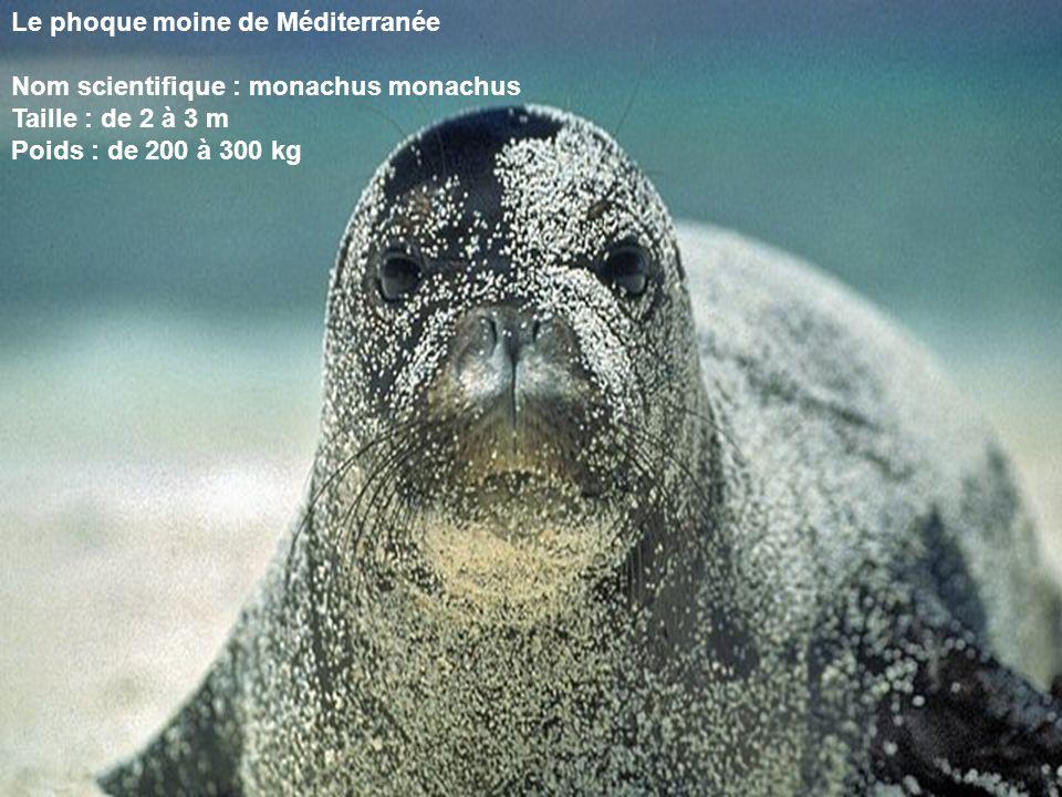 Le phoque moine de Méditerranée
