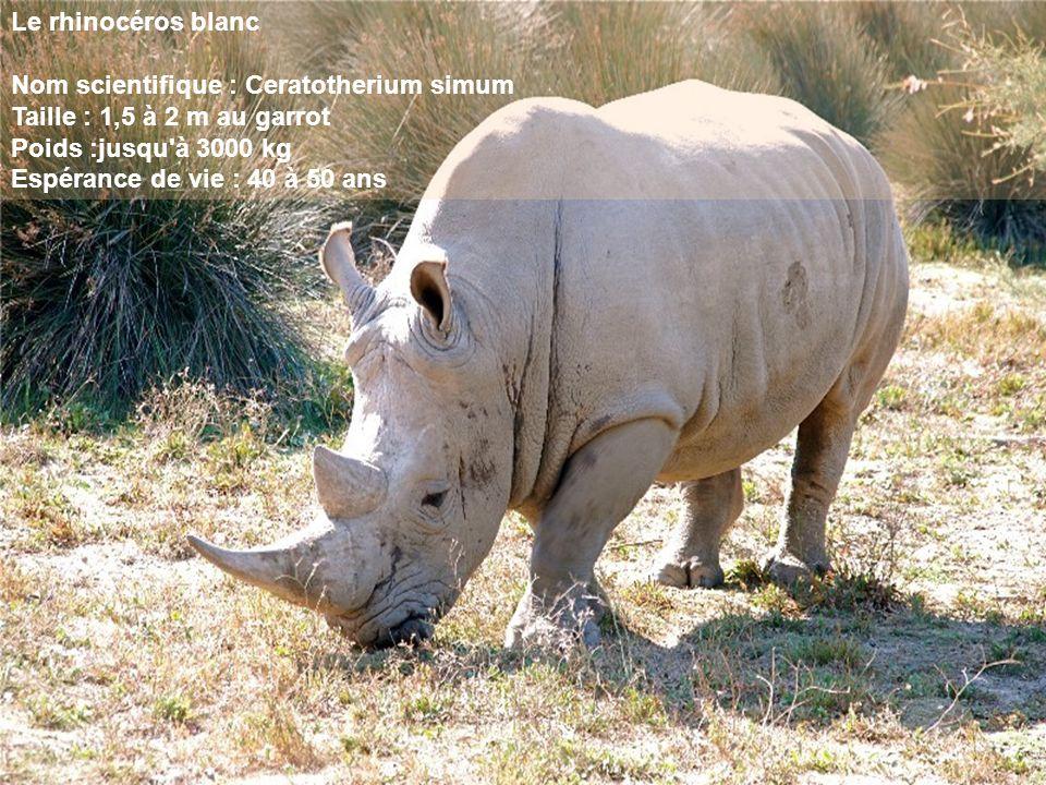 Le rhinocéros blanc Nom scientifique : Ceratotherium simum. Taille : 1,5 à 2 m au garrot. Poids :jusqu à 3000 kg.