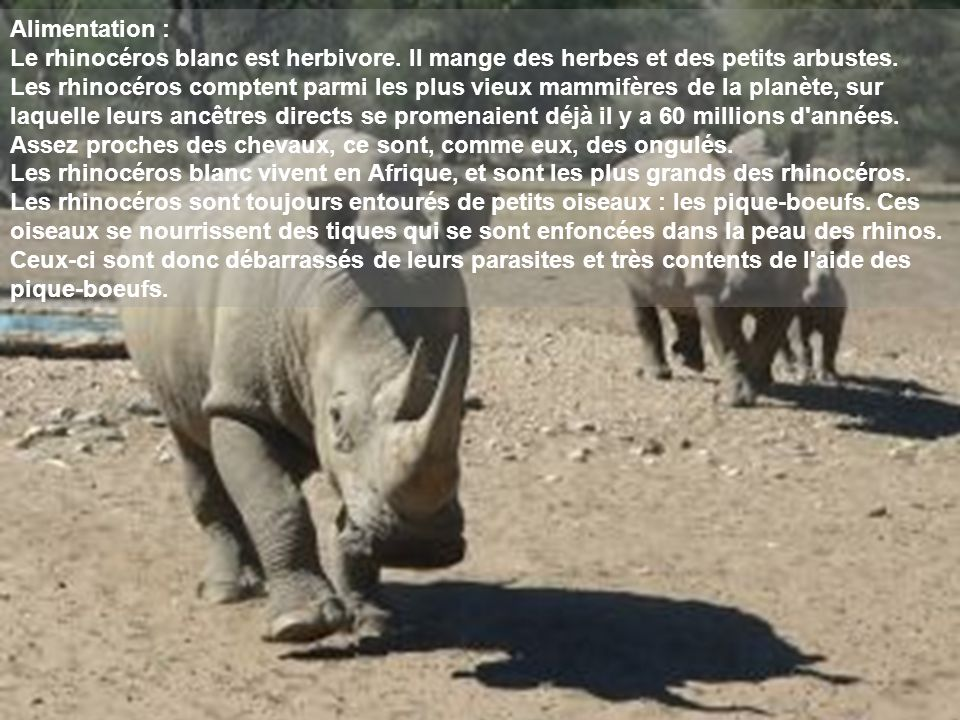 Alimentation : Le rhinocéros blanc est herbivore. Il mange des herbes et des petits arbustes.