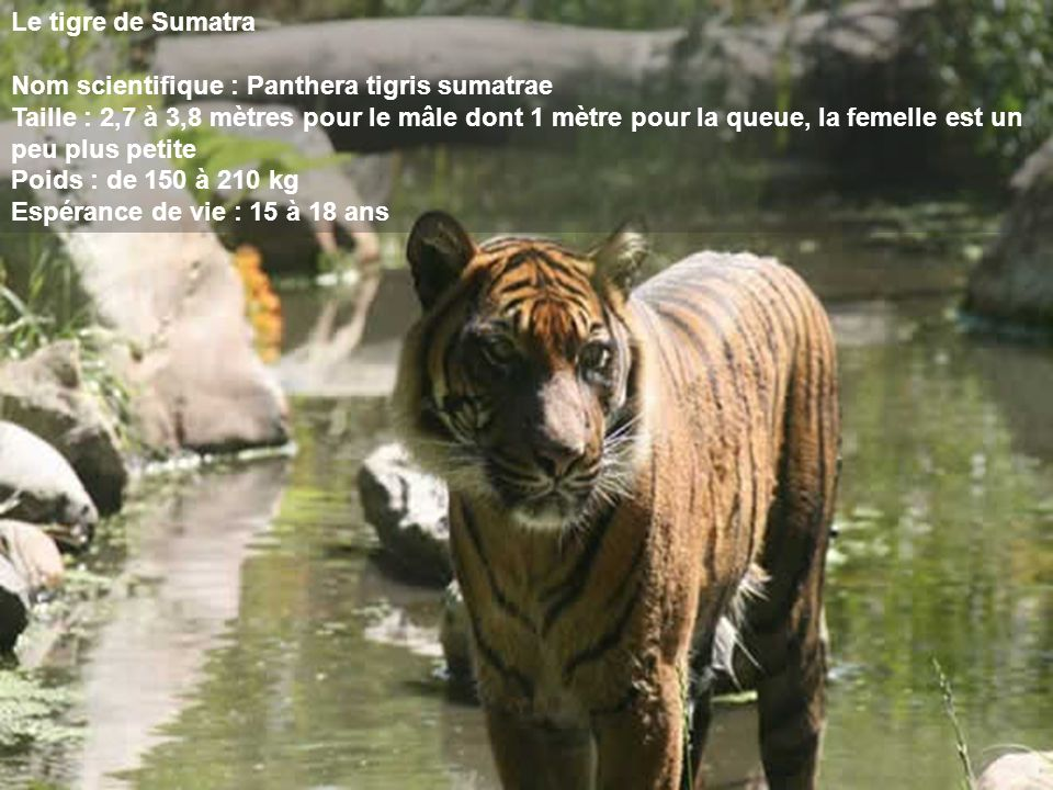 Le tigre de Sumatra Nom scientifique : Panthera tigris sumatrae.