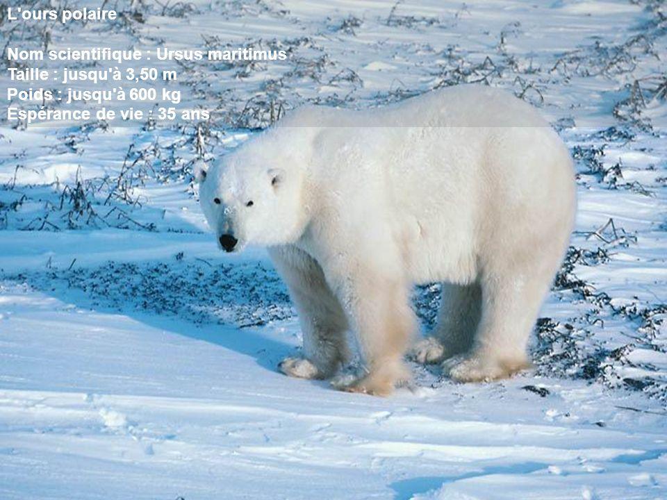 L ours polaire Nom scientifique : Ursus maritimus. Taille : jusqu à 3,50 m. Poids : jusqu à 600 kg.