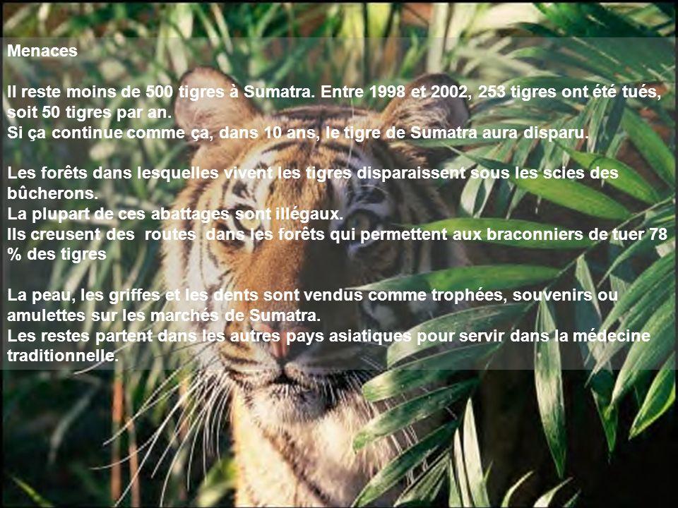 Menaces Il reste moins de 500 tigres à Sumatra. Entre 1998 et 2002, 253 tigres ont été tués, soit 50 tigres par an.