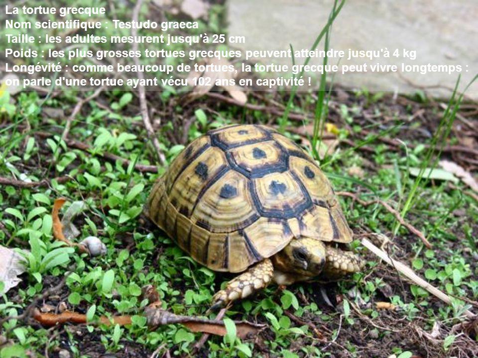 La tortue grecque Nom scientifique : Testudo graeca. Taille : les adultes mesurent jusqu à 25 cm.