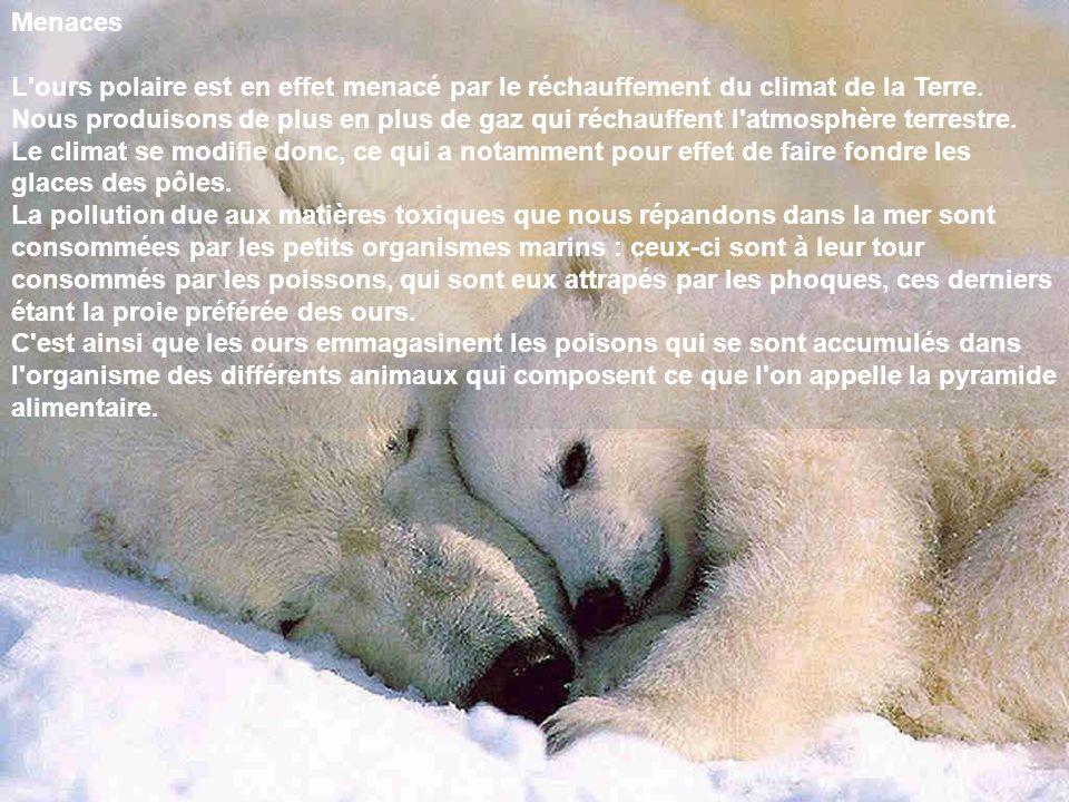 Menaces L ours polaire est en effet menacé par le réchauffement du climat de la Terre.