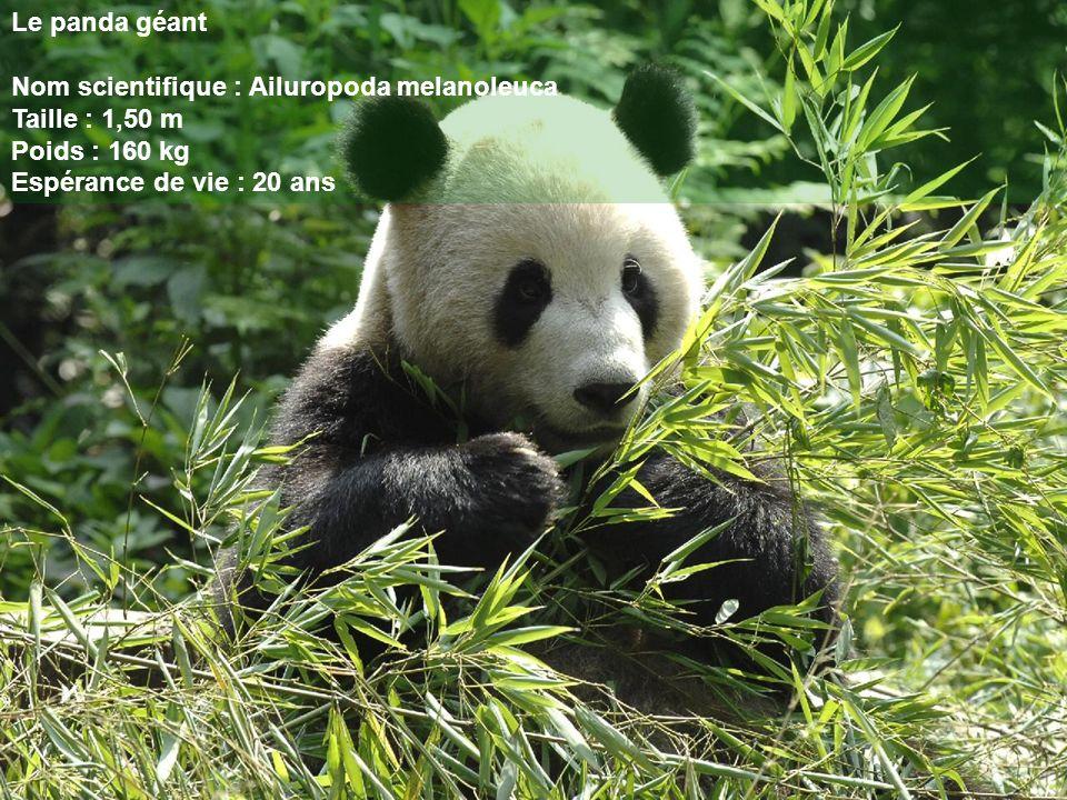 Le panda géant Nom scientifique : Ailuropoda melanoleuca.
