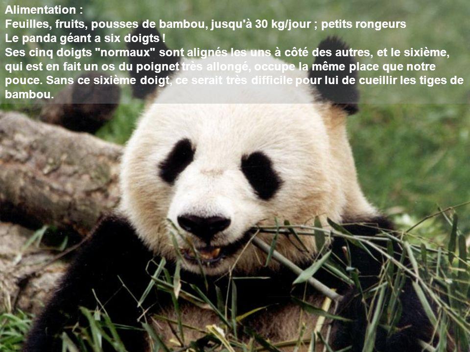 Alimentation : Feuilles, fruits, pousses de bambou, jusqu à 30 kg/jour ; petits rongeurs. Le panda géant a six doigts !