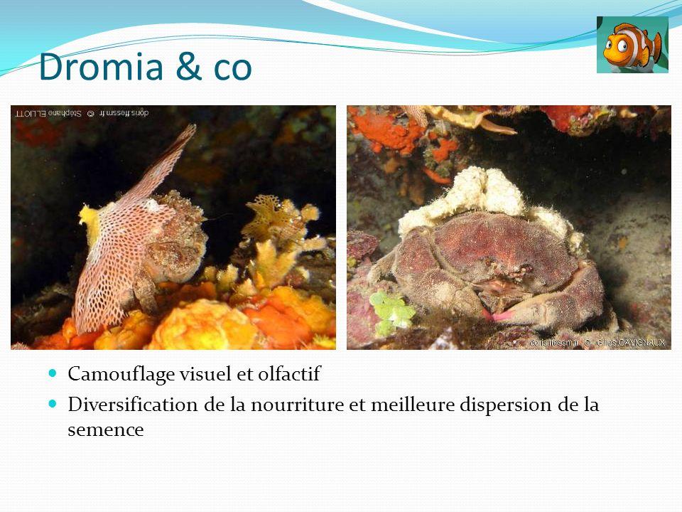 Dromia & co Camouflage visuel et olfactif