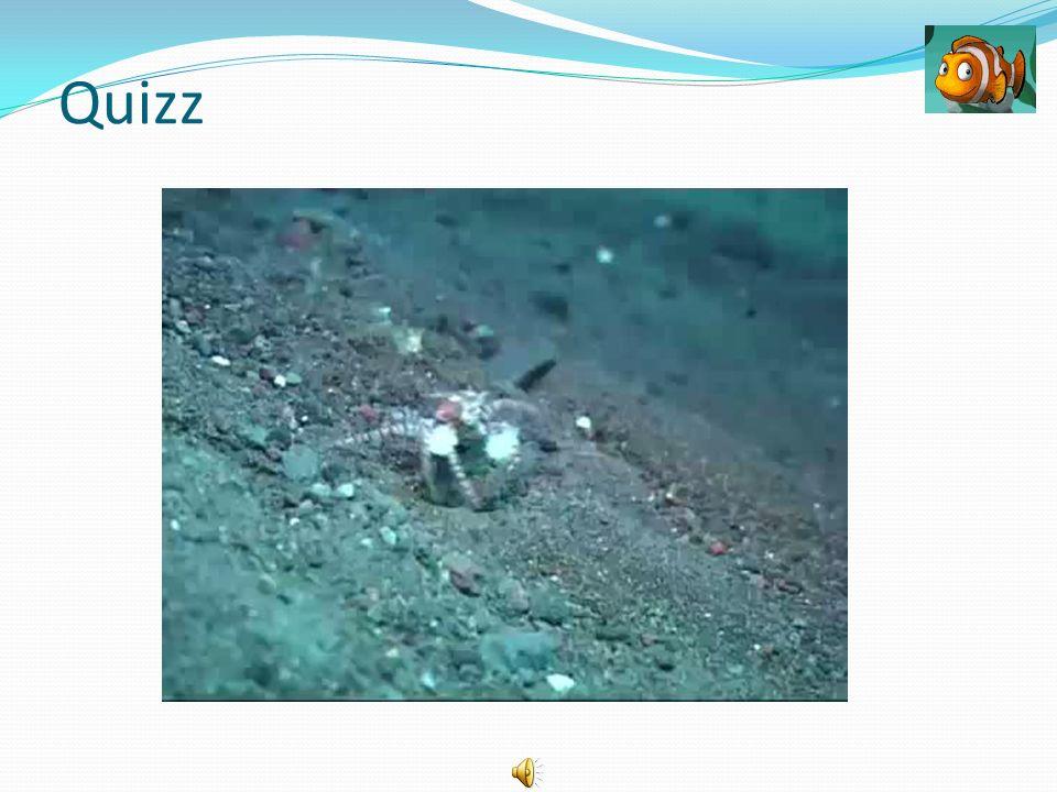 Quizz On peut le rencontrer avec des habitants des récifs coralliens. Plutôt petit, il est quand même classé parmi les plus beaux des Crustacés.