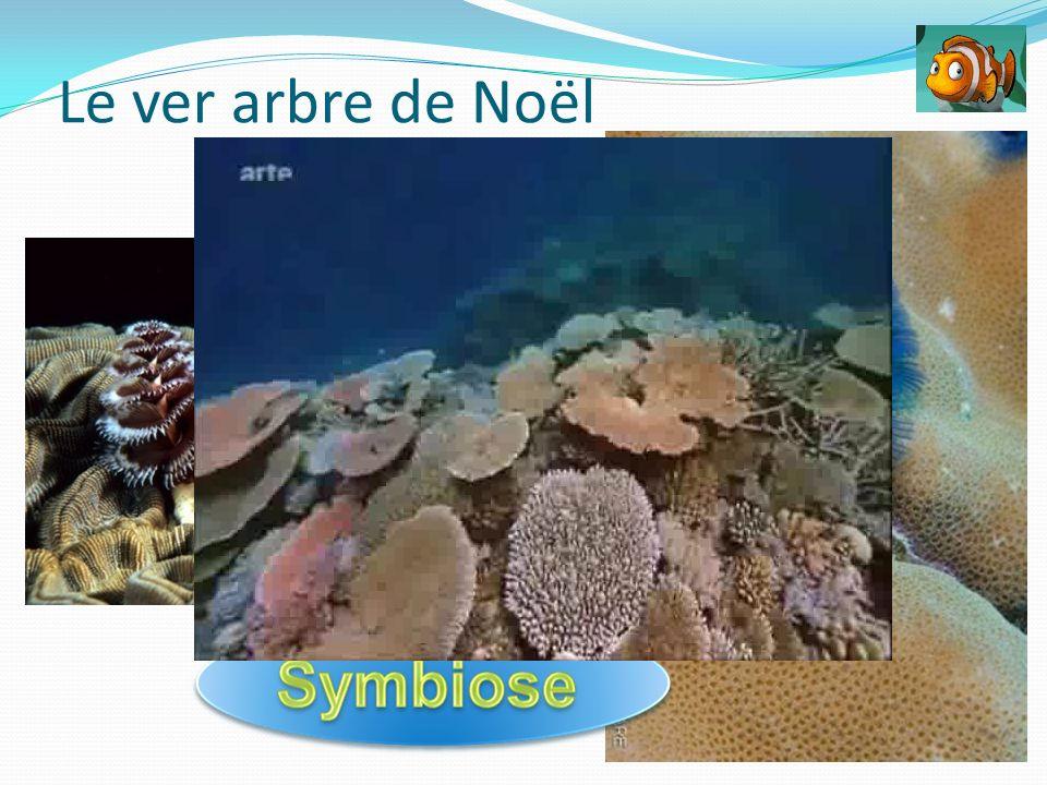Le ver arbre de Noël association obligatoire avec une trentaine d'espèces de coraux durs.